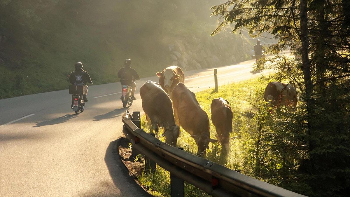 Mopedfahrer und Kühe - Ötztaler Mopedmarathon